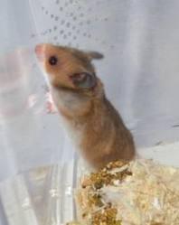 Crookie , rongeur Hamster