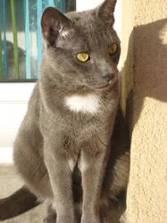 Croquette, chat Chartreux