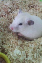 Croquette, rongeur Hamster
