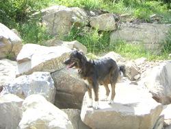 Croquette, chien Berger des Pyrénées