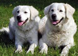 Croquette, chien Slovensky cuvac