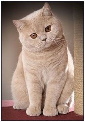 Croquette, chat British Shorthair