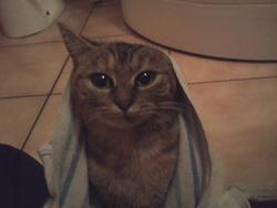 Croquette, chat Européen