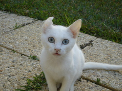 Croquette, chat Manx