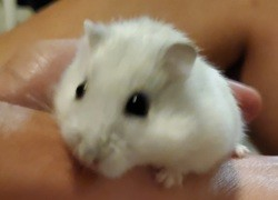 Croquitou, rongeur Hamster