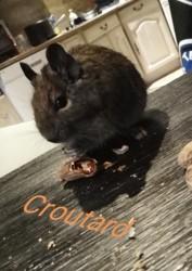 Croutard, rongeur Octodon