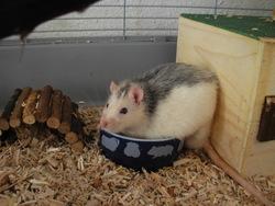 Crouton, rongeur Rat
