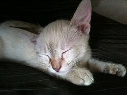 Crovette, chat Siamois