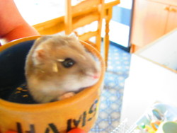 Crumble, rongeur Hamster