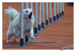 Crumble, chien Spitz japonais