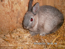 Crums, rongeur Lapin
