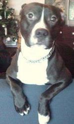 Crunch, chien American Staffordshire Terrier