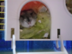 Crunch, rongeur Hamster