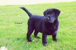 Crunch, chien Labrador Retriever