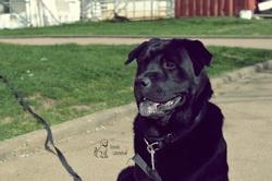 Crunch, chien Labrador Retriever