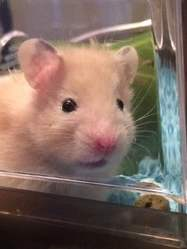 Crunchy, rongeur Hamster