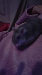 Crunchy, rongeur Hamster