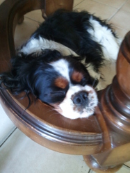 Crusty, chien Cavalier King Charles Spaniel