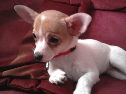 Crystal, chien Chihuahua
