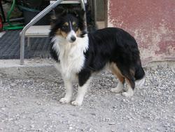 Crystal, chien Berger des Shetland