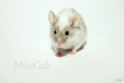 Crystal, rongeur Souris