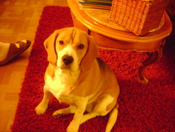 Crystal, chien Beagle