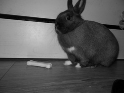 Crystal, rongeur Lapin