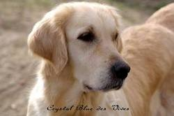 Crystal Blue Des Vives, chien Golden Retriever