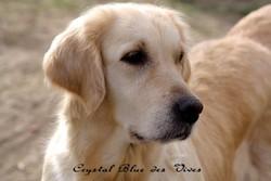 Crystal Blue Des Vives, chien Golden Retriever