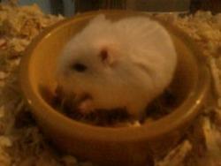 Crystale, rongeur Hamster
