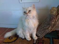 Crystale, chat Persan
