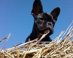 Cuca, chien Bouledogue français