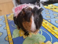 Cuicui, rongeur Cochon d'Inde