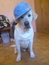 Cunter, chien Labrador Retriever