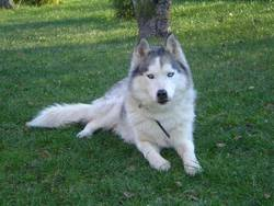 Cupcake, chien Husky sibérien