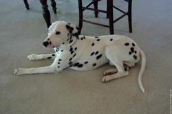 Cupidon, chien Dalmatien