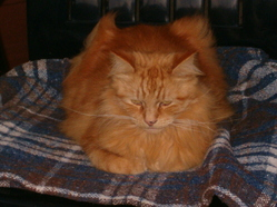 Cupidon, chat Maine Coon