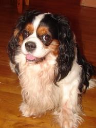 Cupidon, chien Cavalier King Charles Spaniel