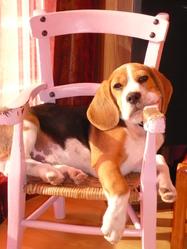 Curby, chien Beagle