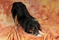 Curly, chien Berger australien