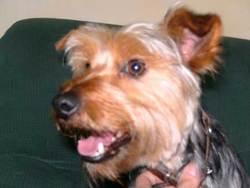 Curly, chien Pinscher
