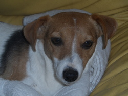 Curly, chien Jack Russell Terrier