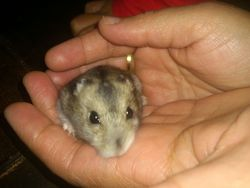 Curly Dcd, rongeur Hamster