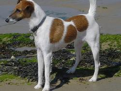 Curly, chien Fox-Terrier