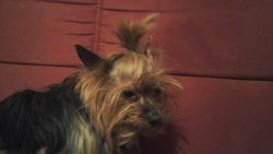 Curly, chien Yorkshire Terrier