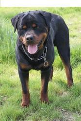 Curt Vdf', chien Rottweiler