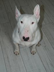 Curtis, chien Bull Terrier