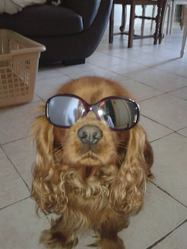 Curtis, chien Cavalier King Charles Spaniel