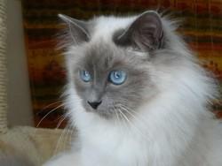 Cyane De La Vallée De L'Yonne, chat Birman