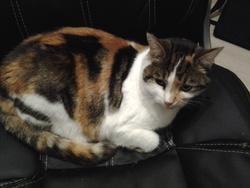 Cybele, chat Gouttière